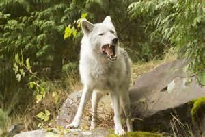 wolf crash site